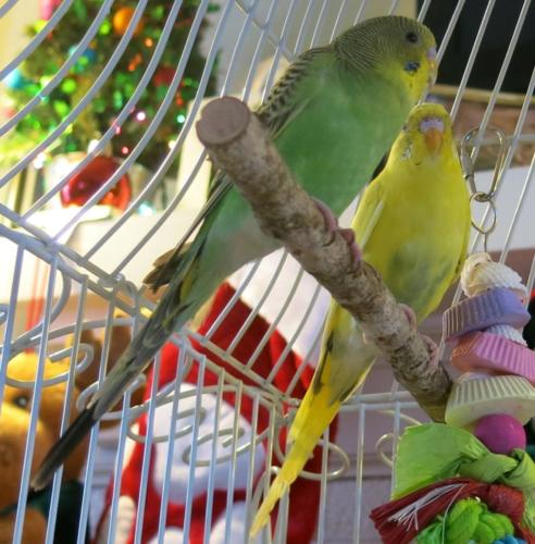 Greenie & Gabby Grant - Parakeets