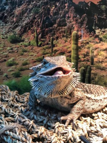 Khaleesi Driscoll - Bearded Dragon