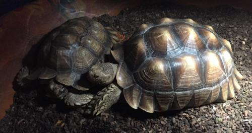 Emmitt and Scooter Rock-Paul - Sulcata Tortoises