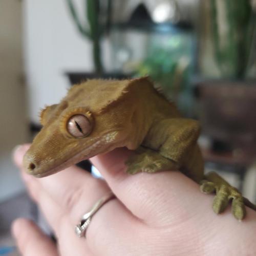 Luka Viner - Crested Gecko