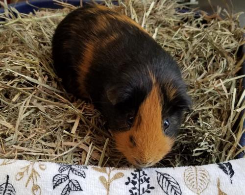 Mr. Whiskers Powell - Guinea Pig