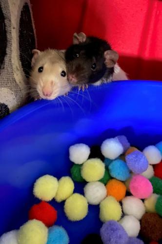 Nibbler and Bumpkin Phillips - Fancy Rats
