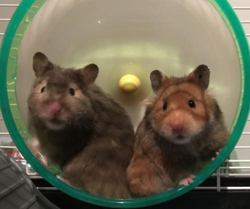 The Pickle sisters: Trixie Pickles Grant and Chug Chug Pickles Grant! (Hamsters)